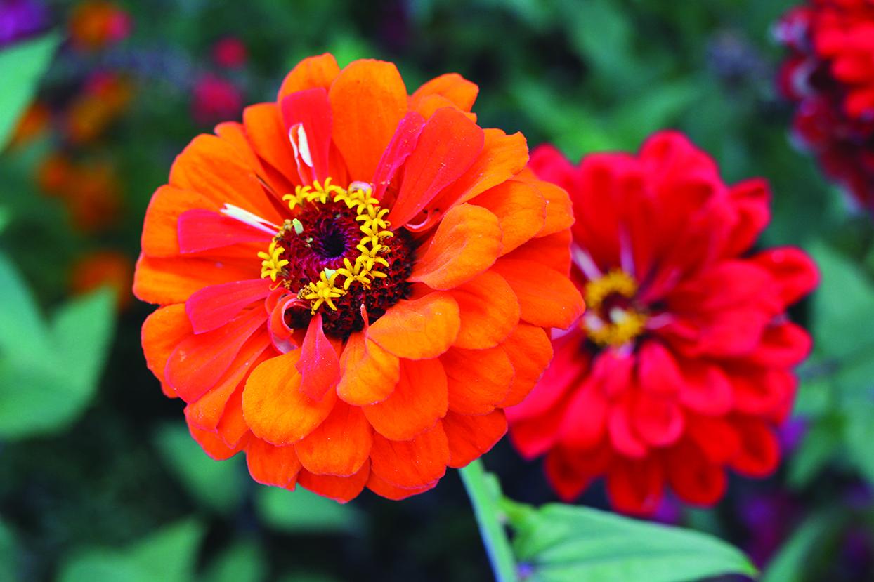 zinnia orange