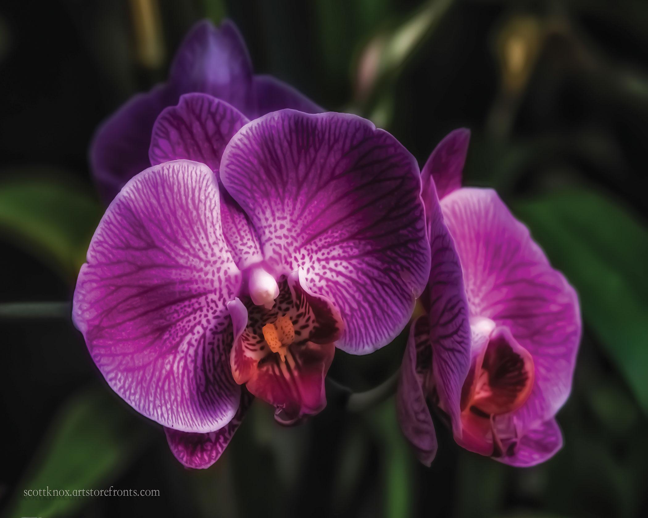 Orchid-Scott-Knox